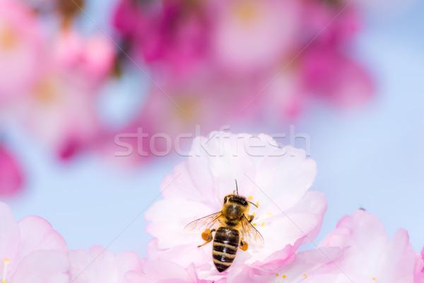 Bee roze kersenbloesem verzamelen stuifmeel nectar Stockfoto © manfredxy