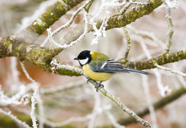 Great tit bird sitting on a frosted tree Stock photo © manfredxy