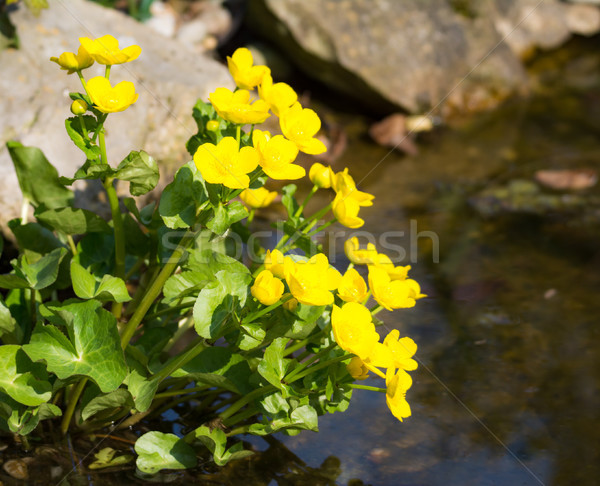 Yellow kingcup flowers at the water Stock photo © manfredxy