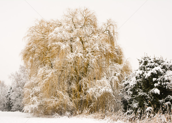 Frosted weeping willow tree Stock photo © manfredxy