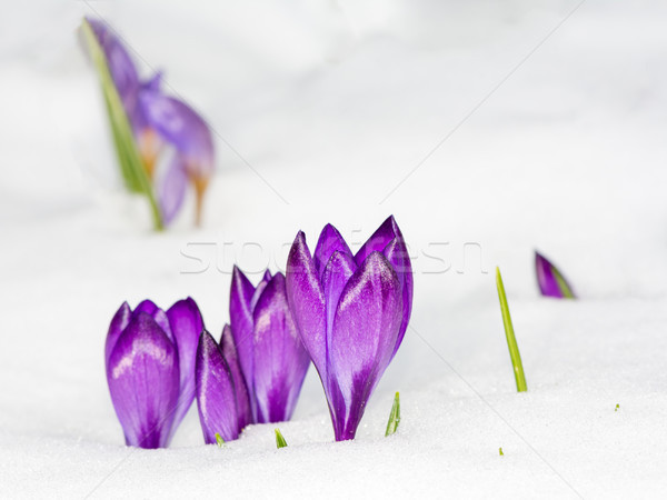Purple crocus flowers in the snow Stock photo © manfredxy
