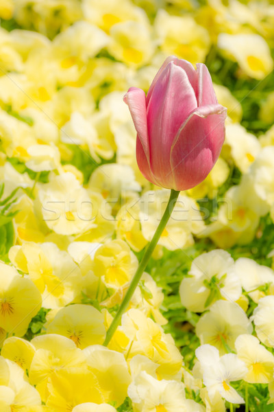 Outstanding tulip flower in a flowerbed Stock photo © manfredxy