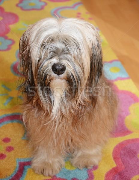 Terrier marrom cão animal masculino Foto stock © manfredxy