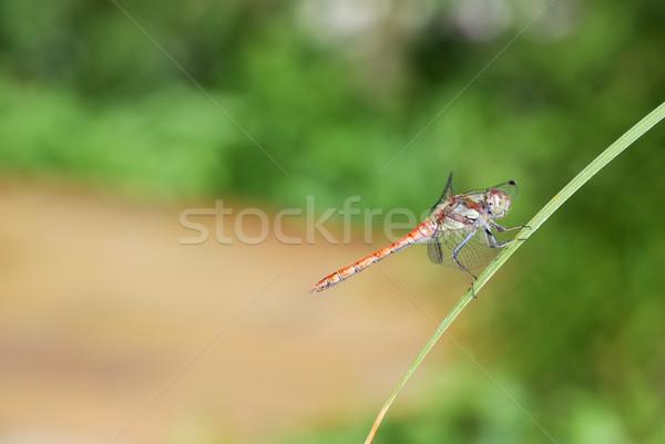 Kırmızı yusufçuk bıçak çim doğa Stok fotoğraf © manfredxy
