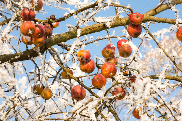 Ripe apples covered with frost Stock photo © manfredxy