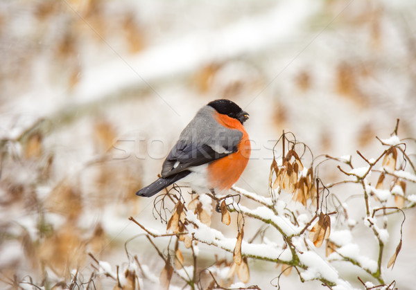 Male eurasion bullfinch bird sitting on a snow covered tree Stock photo © manfredxy