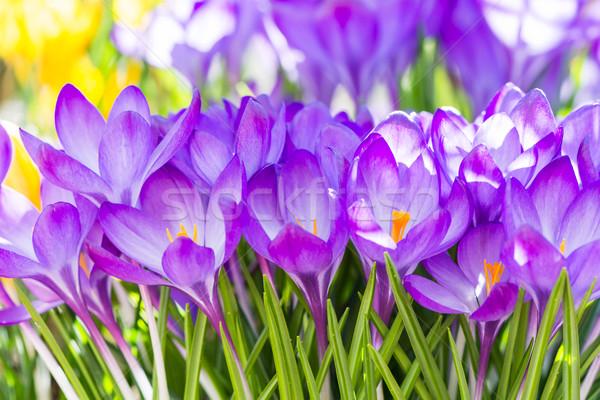 Roxo açafrão flores flor flores Foto stock © manfredxy