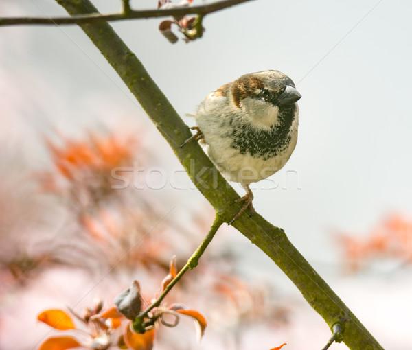 Domu wróbel gałązka drzewo Zdjęcia stock © manfredxy