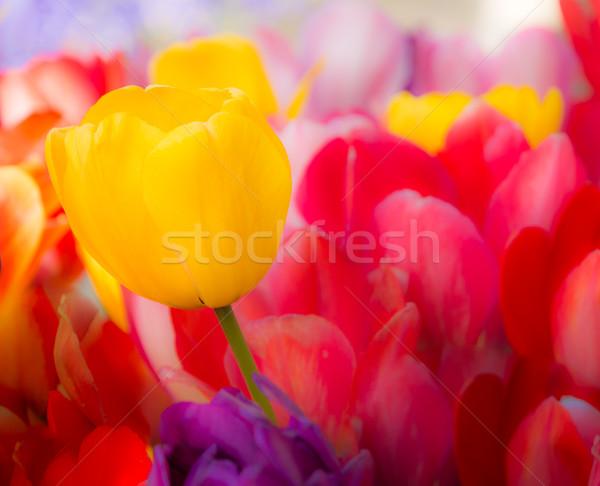 выдающийся желтый Tulip Клумба тюльпаны весны Сток-фото © manfredxy