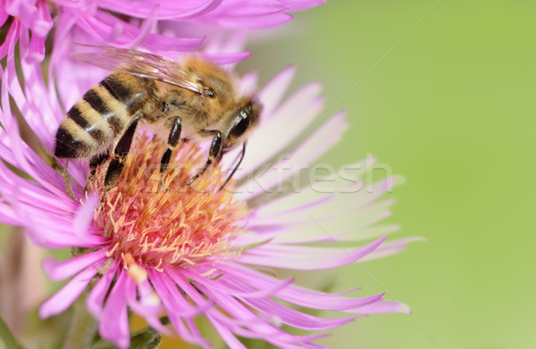 Aster Flower with Bee Stock photo © manfredxy