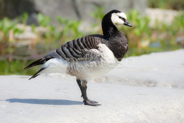 Barnacle Goose Stock photo © manfredxy