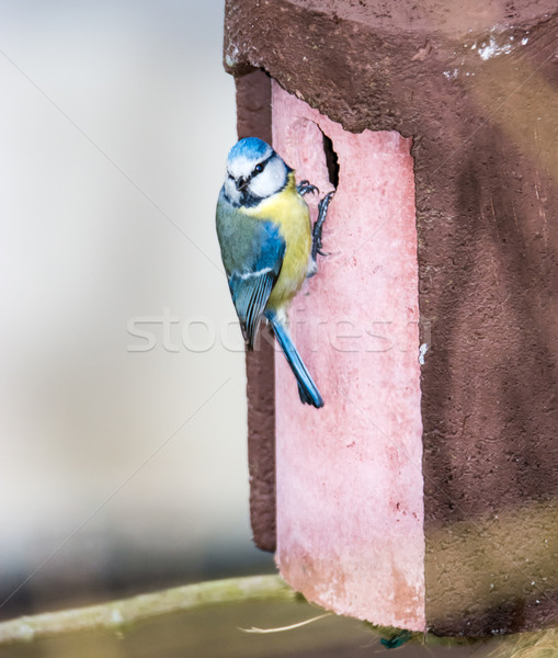 Blue Tit bird at the birdhouse Stock photo © manfredxy