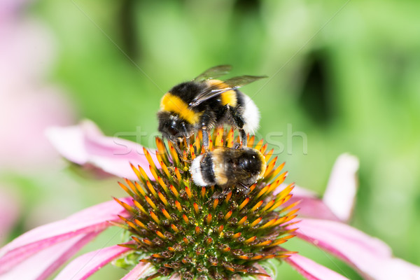 Two bumblebees on a echinacea blossom Stock photo © manfredxy