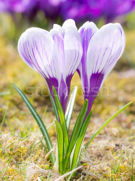 Stockfoto: Paars · witte · krokus · bloemen · gras · groep