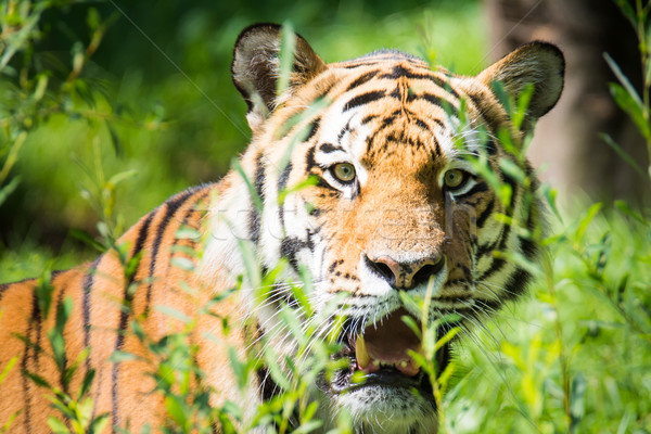 Wild siberian tiger in the jungle Stock photo © manfredxy