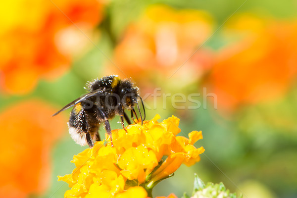 Bumblebee collecting nectar on a lantana camara flower Stock photo © manfredxy