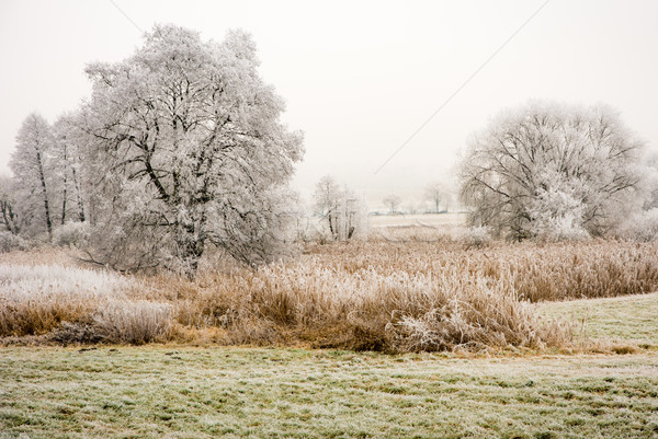 Foggy winter scenic with frosted trees Stock photo © manfredxy