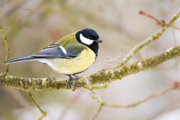 Great tit bird sitting on a tree Stock photo © manfredxy