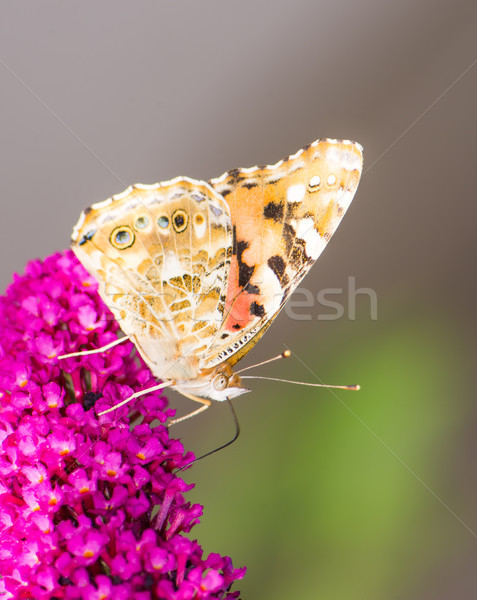 Stock photo: Painted laidy butterfly collecting nectar at a budleja blossom