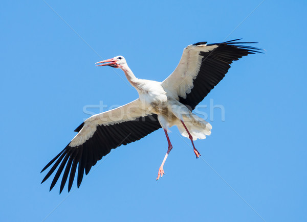 Flying white stork with blue sky Stock photo © manfredxy