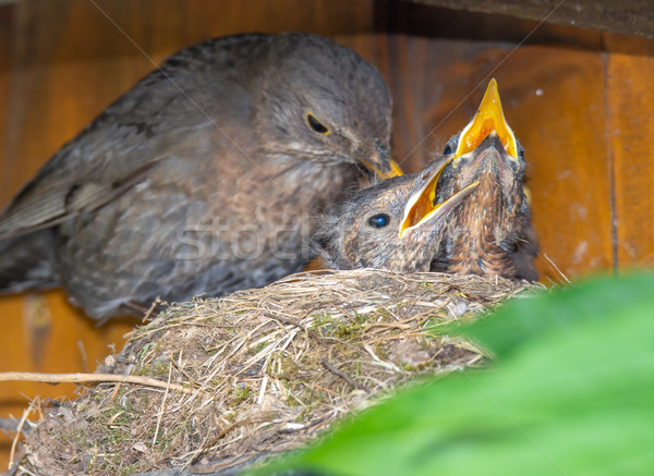 Blackbird feeding its babies in the nest Stock photo © manfredxy