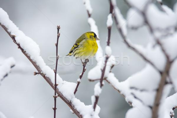 Male eurasian siskin bird in the winter Stock photo © manfredxy