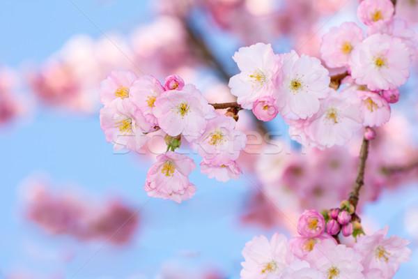 Takje bloei kers boom roze bloemen Stockfoto © manfredxy