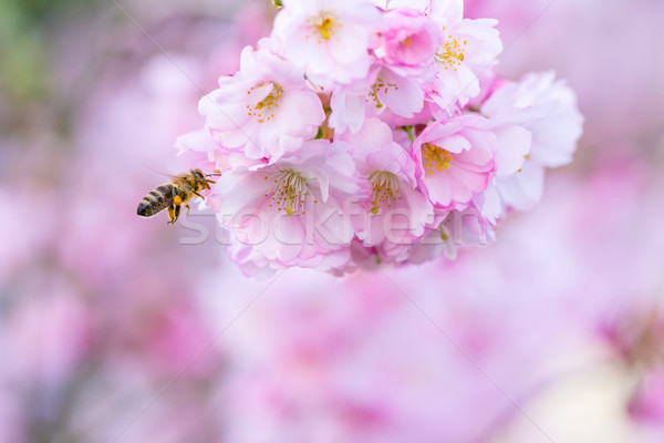Bee bloei kers boom honingbij vliegen Stockfoto © manfredxy