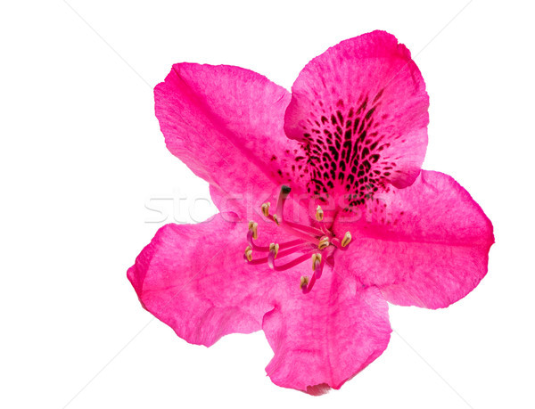 Macro of a pink isolated Rhododendron flower blossom Stock photo © manfredxy