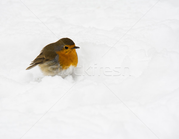 Robin bird sitting in the snow Stock photo © manfredxy