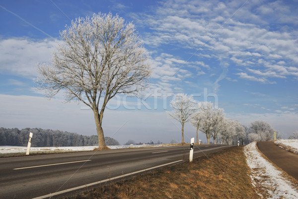Frosted Trees Stock photo © manfredxy