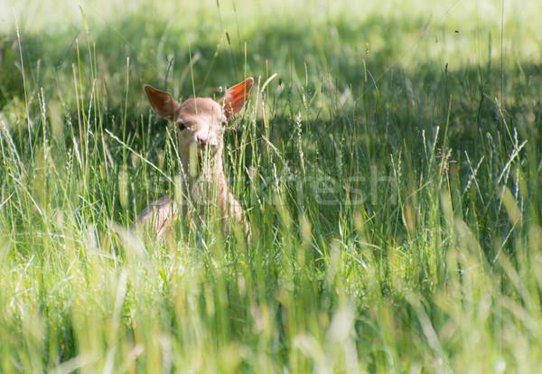 Rejtett fiatal szarvas rejtőzködik fű mező Stock fotó © manfredxy