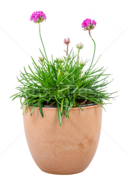 Isolated potted pink Armeria flower Stock photo © manfredxy