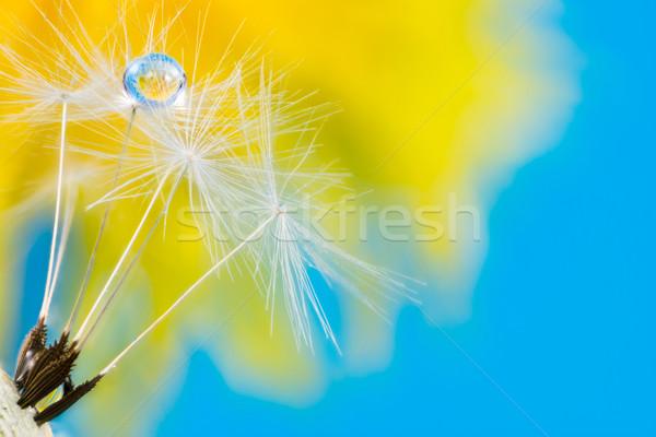 çiy damla karahindiba tohumları çiçek makro Stok fotoğraf © manfredxy