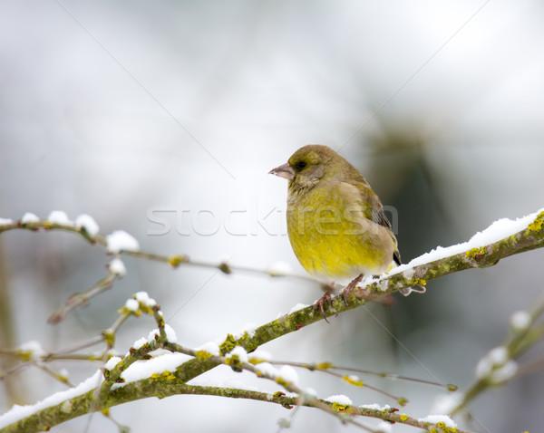 Europese vogel vergadering sneeuw gedekt boom Stockfoto © manfredxy