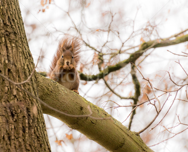 Squirrel hiding at the branch of a tree Stock photo © manfredxy