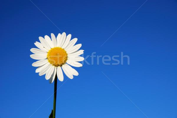 Daisy bloem blauwe hemel hemel natuur tuin Stockfoto © manfredxy