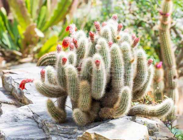 Cactus Stock photo © manfredxy