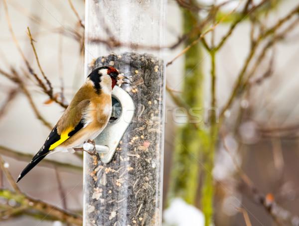 European goldfinch at a bird feeder Stock photo © manfredxy