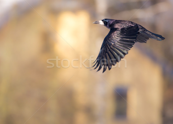 Flying black Carrion Crow Stock photo © manfredxy
