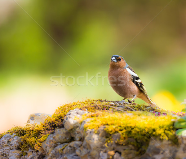 Closeup of a chaffinch bird Stock photo © manfredxy