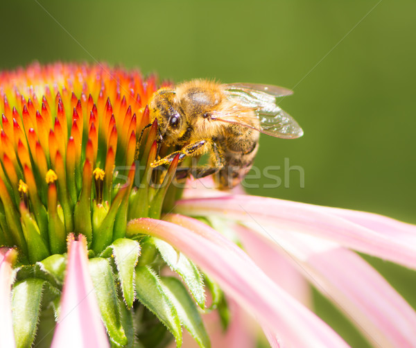 Pszczoła nektar kwiat makro Zdjęcia stock © manfredxy