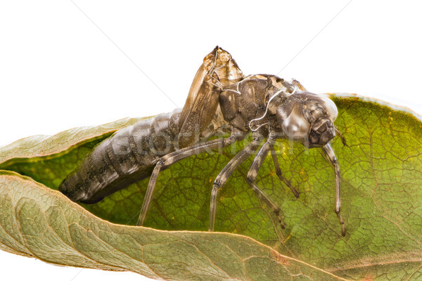 Isolated empty skin of a dragonfly larva Stock photo © manfredxy