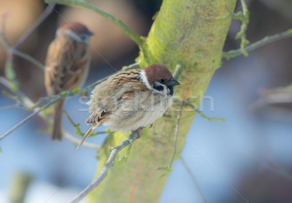 árvore pardal sessão galho natureza Foto stock © manfredxy