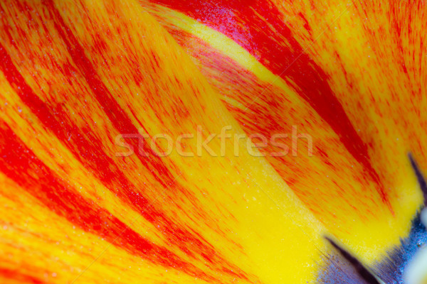 Abstract tulip flower background Stock photo © manfredxy