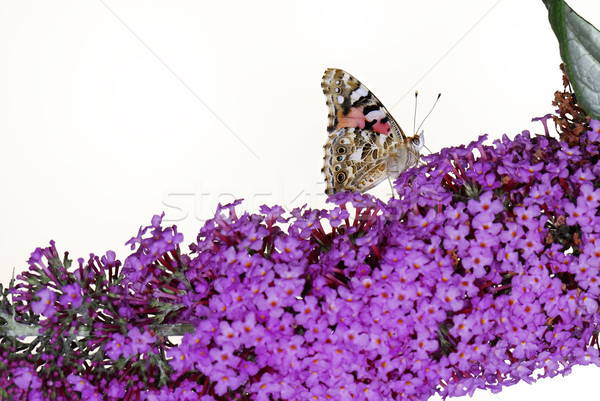 Stock photo: Painted Lady Butterfly