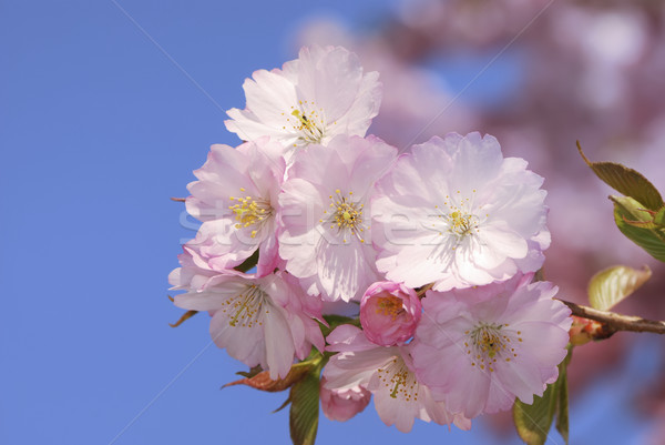 Pink cherry blossoms Stock photo © manfredxy