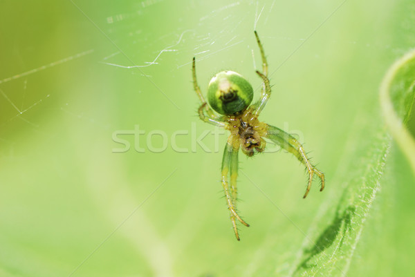 Green Spider Stock photo © manfredxy