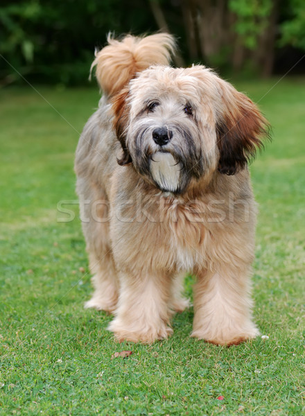 Tibetan terrier dog Stock photo © manfredxy