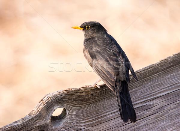 Eurasian Blackbird sitting on a wooden fence Stock photo © manfredxy